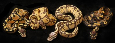 left to right: Pastel, Monarch Pastel, Monarch Super Pastel, Normal