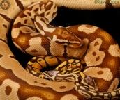 Monarch Pastel, baby Monarch Pastel, Monarch Super Pastel