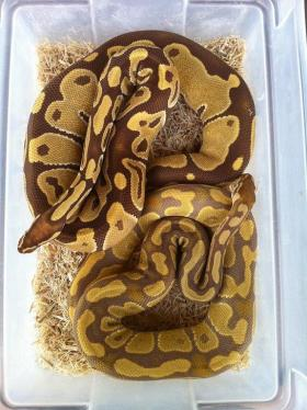 Monarch on top, Caramel on bottom