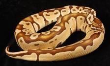 Monarch Pastel