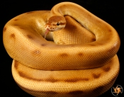 Monarch Genetic Stripe
