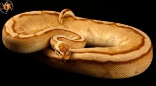 Monarch Pastel Genetic Stripe
