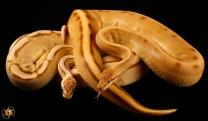 Monarch Genetic Stripe,Monarch Pastel Genetic Stripe