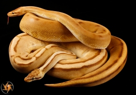 Monarch Genetic Stripe, Monarch Pastel Genetic Stripe