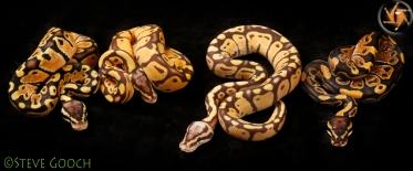 left to right: Pastel, Monarch Pastel, Monarch Super Pastel, Normal