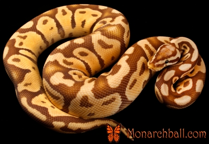 Monarch Super Pastel