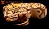 Monarch Super Pastel