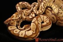 Monarch, Monarch Pastel, Monarch Super Pastel